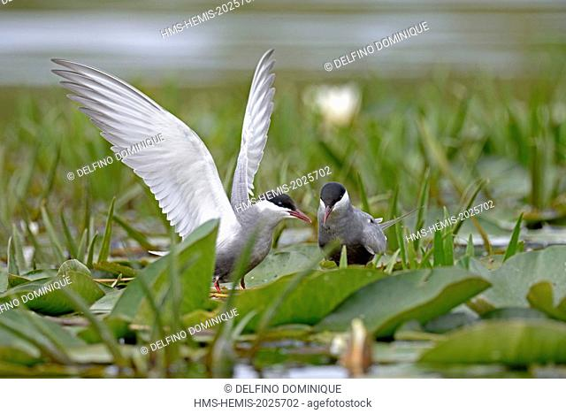 Romania, Danube Delta listed as World Heritage by UNESCO, Whiskered Tern (Chlidonias hybrida) couple on their nesting area