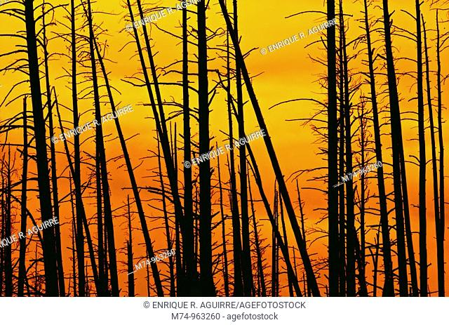 Fire damaged forest, Yellowstone NP, WY, USA
