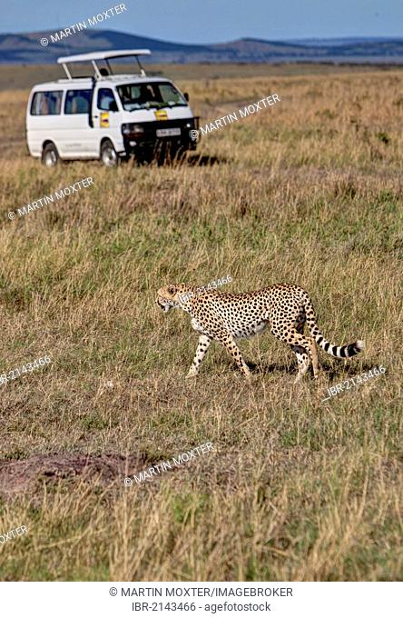 Cheetah (Acinonyx jubatus) crossing in front of a safari bus, Masai Mara National Reserve, Kenya, East Africa, Africa, PublicGround