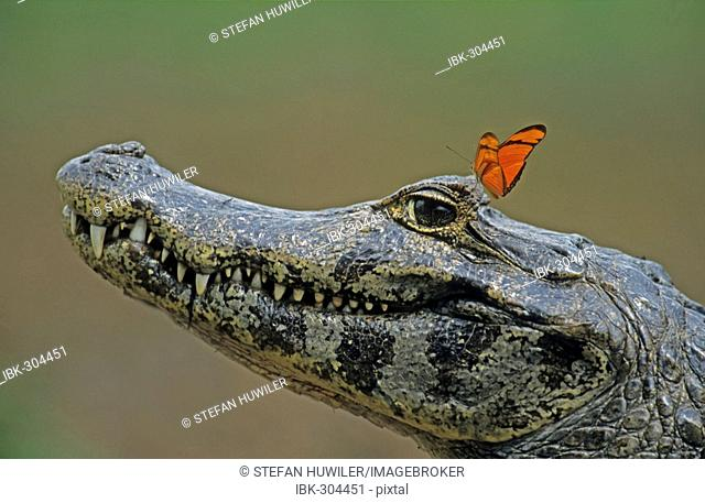 Spectacled Caiman (Caiman crocodilus) with butterfly, Pantanal, Brazil, South America