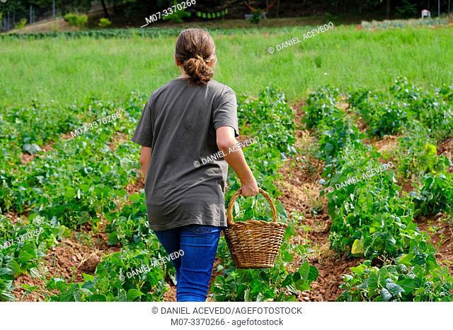 Green beans harvesting