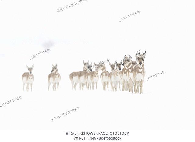 Pronghorns / Gabelböcke / Gabelantilopen ( Antilocapra americana ), small herd, standing in a row, anxious, scared, harsh winter weather, snowfall