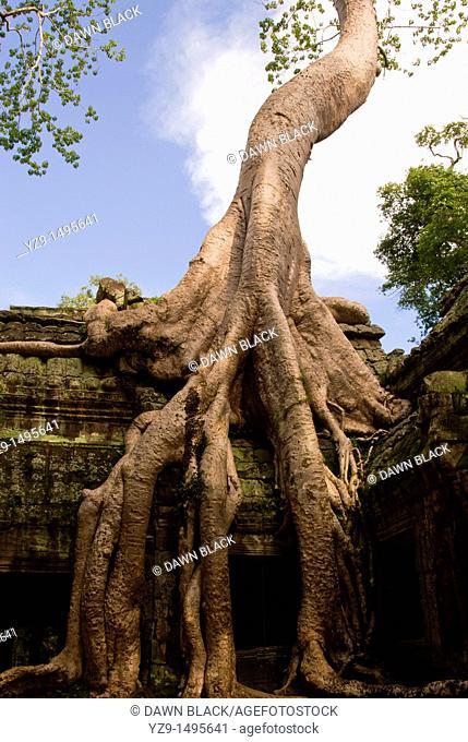 Silk Cotton Tree, Ta Prohm , Siem Reap , Cambodia