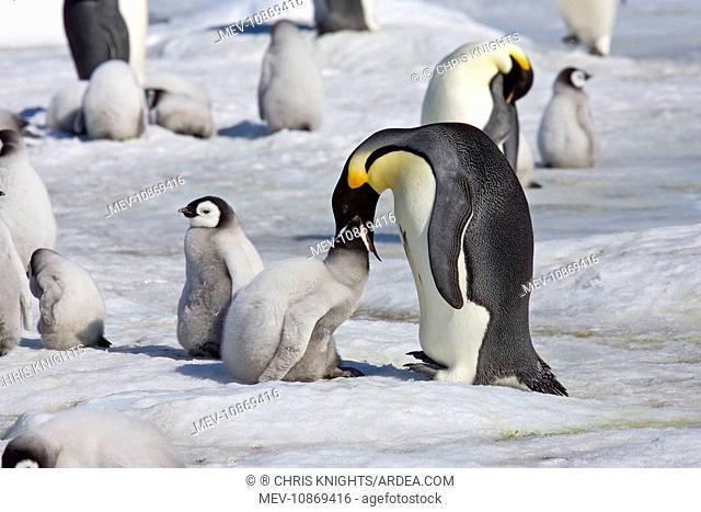 Emperor Penguin - Chick being fed regurgitated food from adults throat (Aptenodytes forsteri). Snow Hill Island, Antarctic October