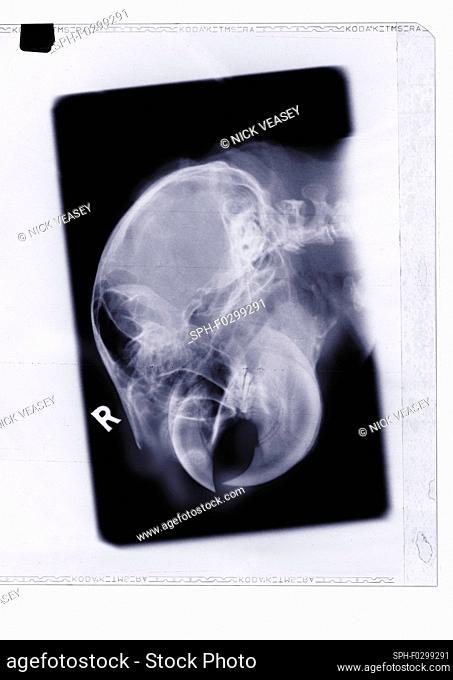 Parrot head and beak, X-ray