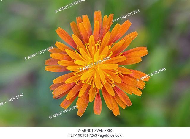 Close up of orange hawkweed / fox-and-cubs / orange hawk bit / devil's paintbrush / grim-the-collier (Pilosella aurantiaca / Hieracium aurantiacum) in flower in...