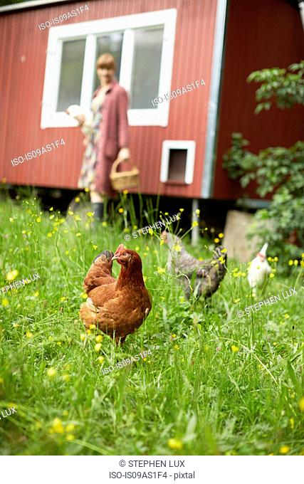 Field with free range hens and woman