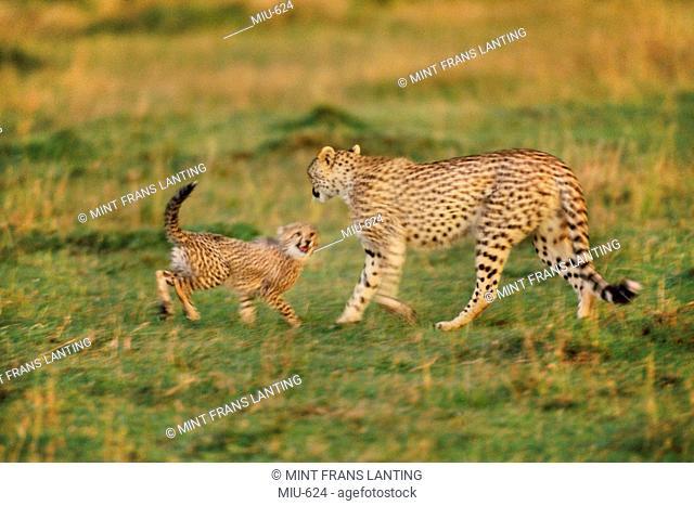 Cheetah mother with cub, Acinonyx jubatus, Masai Mara Reserve, Kenya