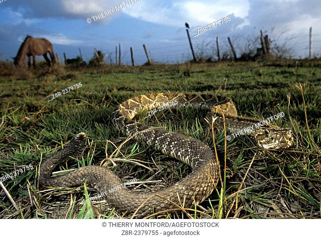 Crotalus durissus. South American Rattlesnake near horses. Rupununi savannah. Guyana