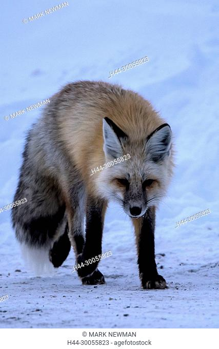 red fox in yellowstone np, wyoming