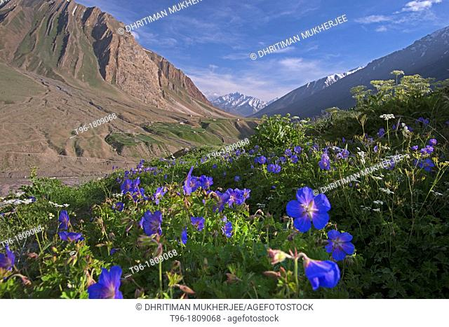 Geranium flowers in Mud Village , Pin Valley India