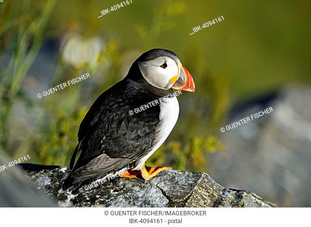 Common Puffin or Atlantic Puffin (Fratercula arctica), Runde, Norway