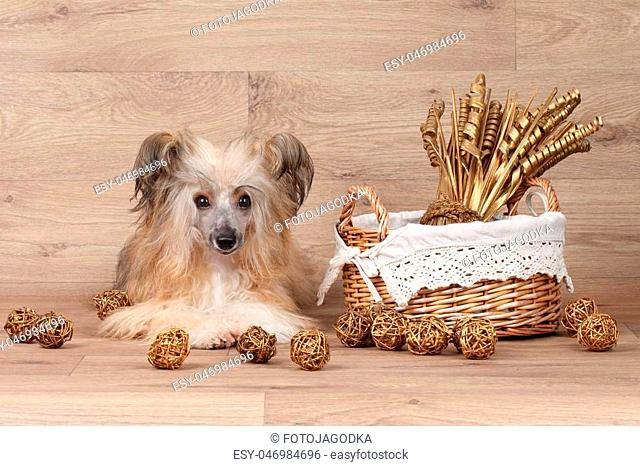 Shaggy Chinese Crested dog lying near wicker basket on wooden background