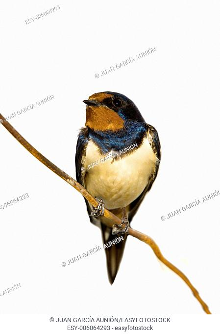 Hirundo rustica or Barn Swallow perched on a wire over white background, Spain