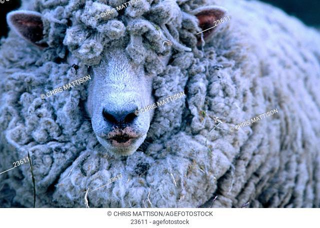 Sheep. Falkland Islands
