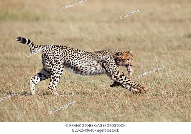Cheetah with prey. Maasai Mara National Reserve, Kenya