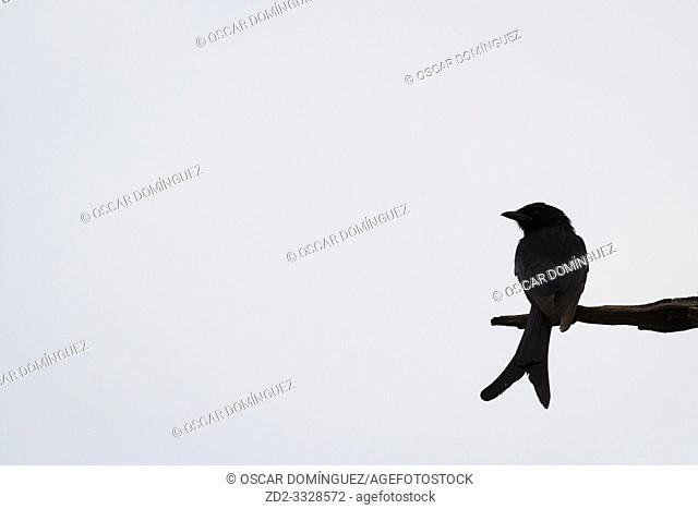 Black Drongo (Dicrurus macrocercus) perched on branch. Keoladeo National Park. Bharatpur. Rajasthan. India