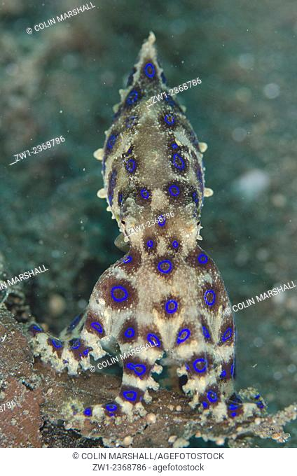 Blue-ringed Octopus (Hapalochlaena sp.), Joleha dive site, Lembeh Straits, Sulawesi, Indonesia