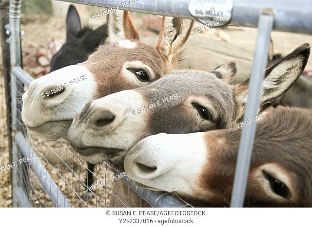 Miniature donkeys on a ranch in Northern California, United States