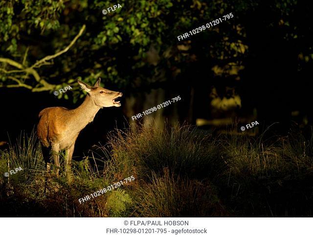 Red Deer (Cervus elaphus) hind, calling, standing in woodland, Bradgate Park, Leicestershire, England, October