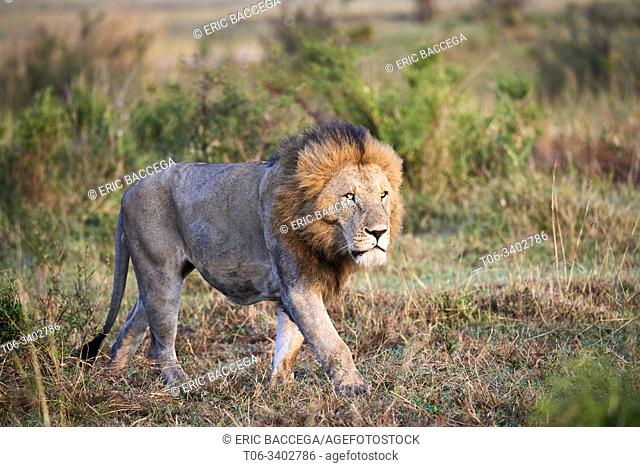 Lion (Panthera leo) male walking. Masai Mara National Reserve, Kenya