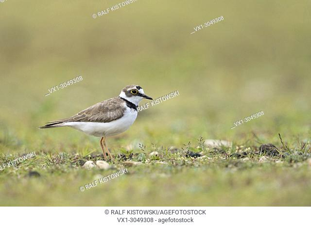 Little Ringed Plover ( Charadrius dubius ), adult wader bird, in its typical secondary habitat, a beautiful gravelled area, wildlife, Europe