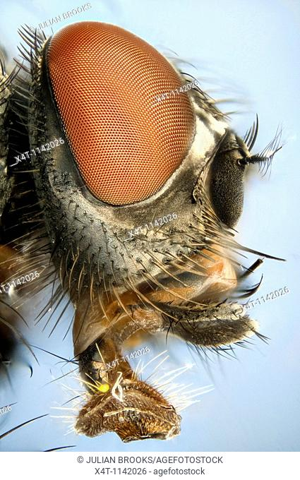 Extreme close up of a house-fly's head showing mouthparts used for sucking