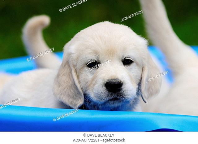 Purebred English Golden Retriever puppy looks out from a blue pool