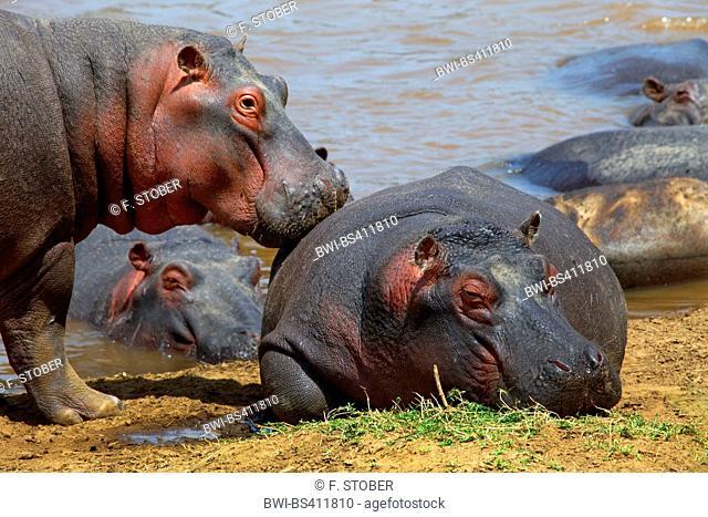 hippopotamus, hippo, Common hippopotamus (Hippopotamus amphibius), group at riverbank, Kenya, Masai Mara National Park