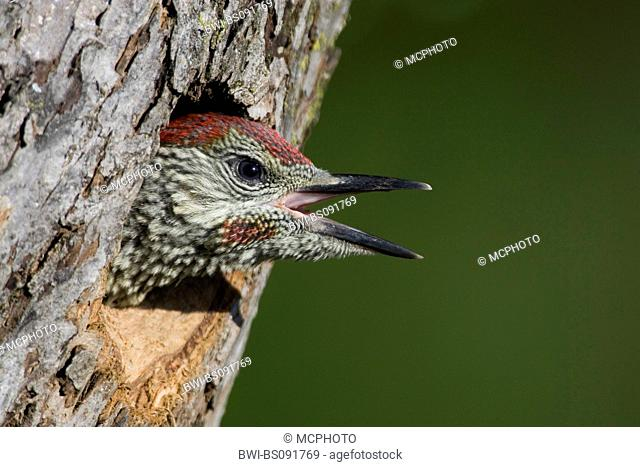 green woodpecker (Picus viridis), young bird begging in tree hole, Austria