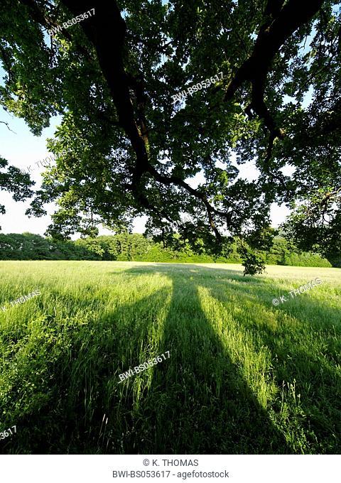 old oak-tree, Austria, Vienna, Wienerwald, Vienna - Exelberg