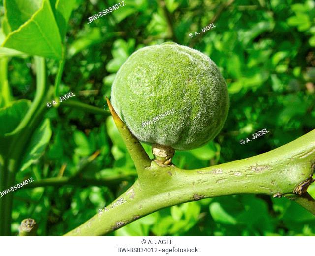 trifoliate orange (Poncirus trifoliata), young fruit and spine