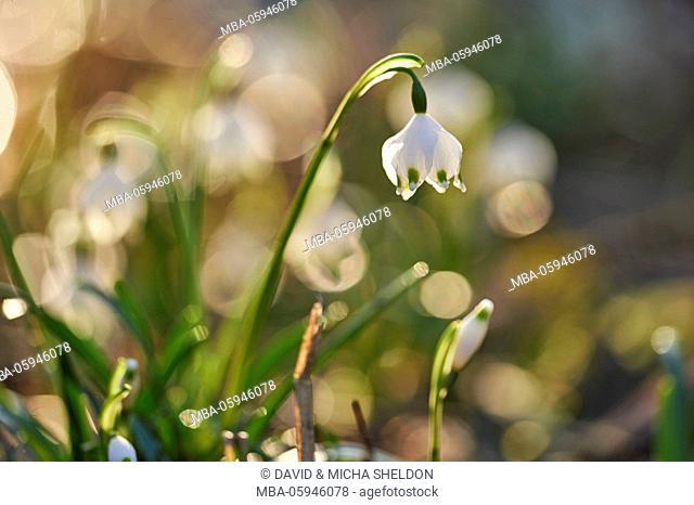 spring snowflake, Leucojum vernum, blossom, close-up