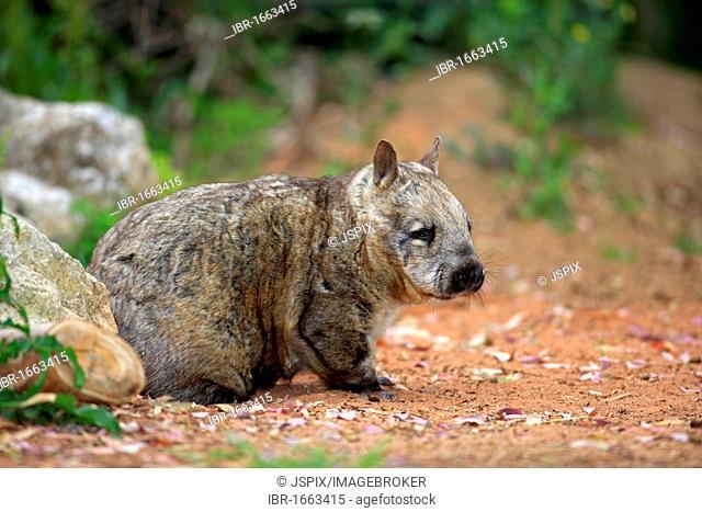 Southern Hairy-nosed Wombat (Lasiorhinus latifrons), adult, Australia