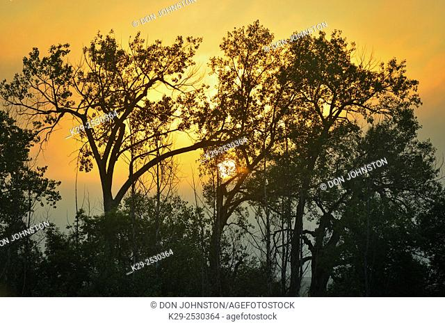 Tree silhouettes at sunrise, Estevan, Saskatchewan, Canada