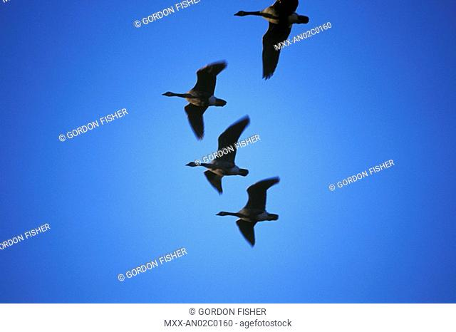 Canada geese heading south for the winter, South Delta, British Columbia, Canada