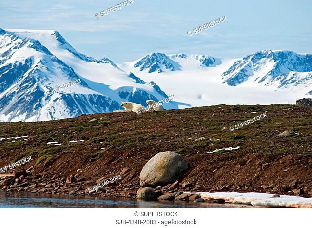 A polar bear Ursus maritimus sow and cub take a rest on Andoyane island in Liefdefjorden, Svalbard Archipelago, Norway, in summertime