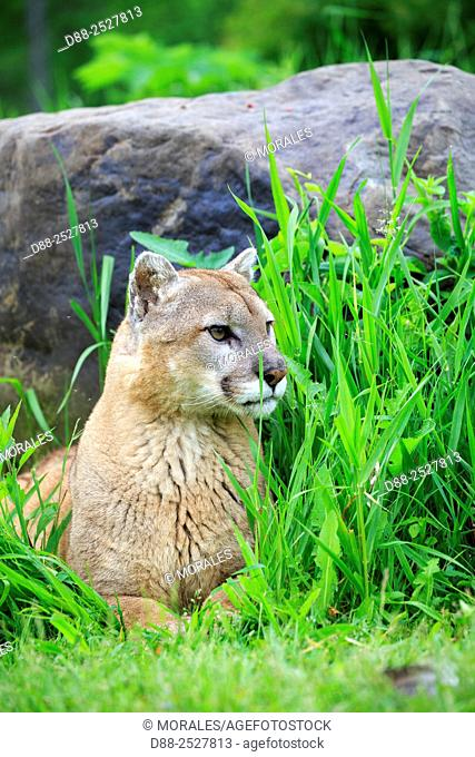 United States, Minnesota, Cougar Puma concolor, also known as the mountain lion,