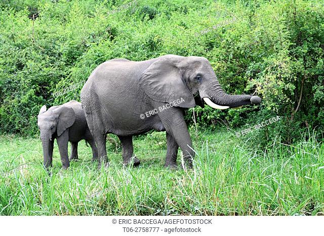 African elephant (Loxodonta africana) female and calf feeding, Queen Elizabeth National Park, Uganda, Africa