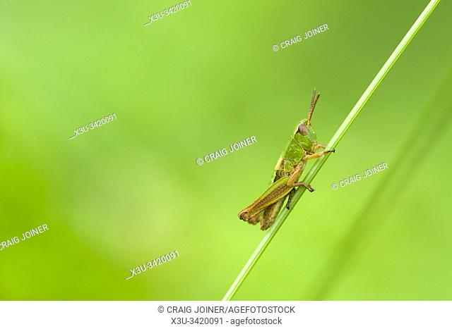 A Meadow Grasshopper (Chorthippus parallelus) nymph on a grass stem in early summer in the Quantock Hills, Somerset, England