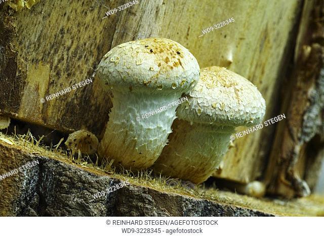 mushrooms on dead wood trunks, Bavaria, Germany