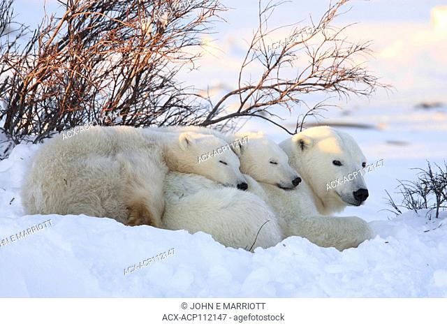 Polar Bear Family