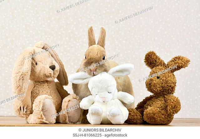 Dwarf Lop-eared Rabbit. Adult female (3 years old) next to three plush hares. Studio picture. Germany