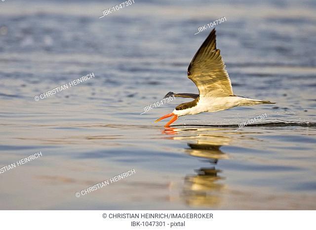 African Skimmer (Rynchops flavirostris), Chobe River, Chobe National Park, Botswana, Africa