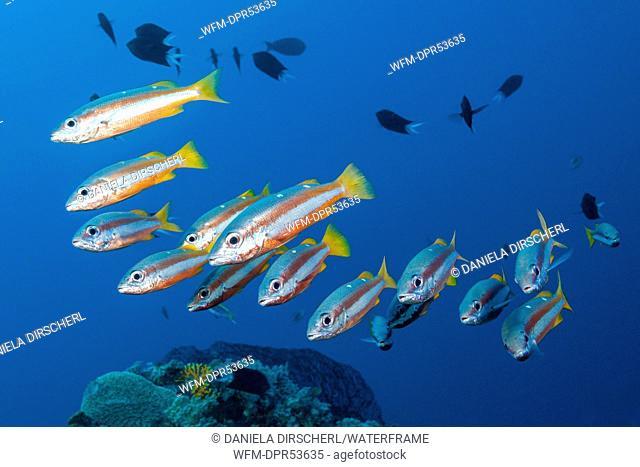 Shoal of Twospot Snapper, Lutjanus biguttatus, Marovo Lagoon, Solomon Islands
