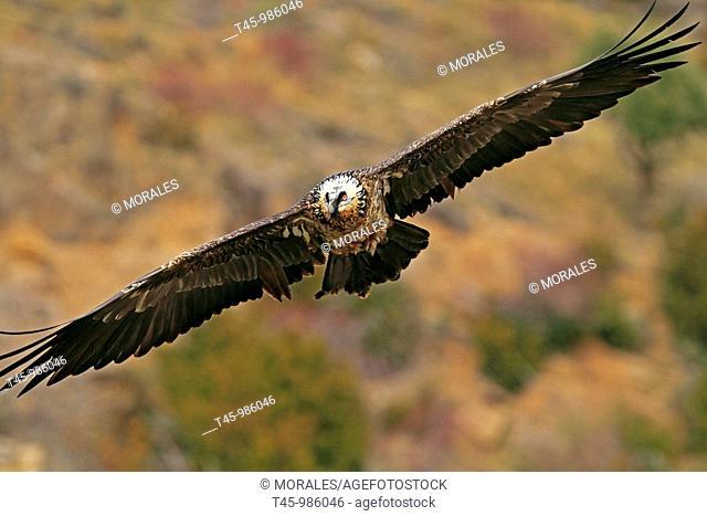 Lammergeier (Gypaetus barbatus), Pyrenees Mountains, Spain