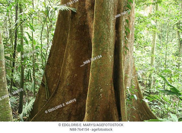 Tree. Tropical rainforest, Henri Pittier National Park, Venezuela