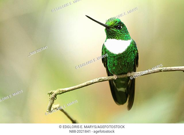 Collared Inca hummingbird San Eusebio Cloud Forest Merida Venezuela