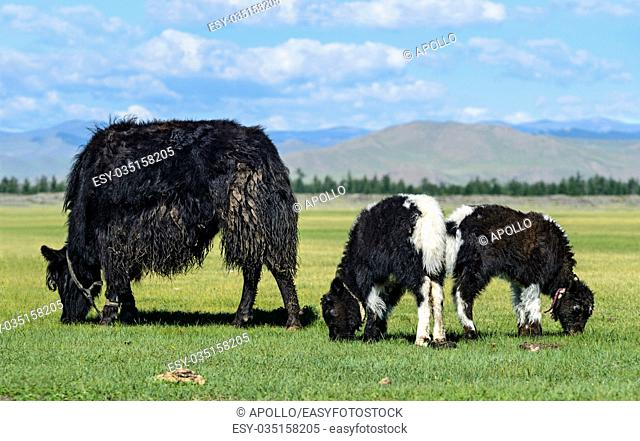 Yak cow with two calves, Orkhon Valley, Khangai Nuruu National Park, Oevoerkhangai Aimag, Mongolia