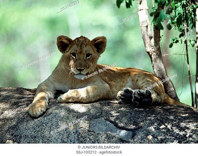 panthera leo / lion